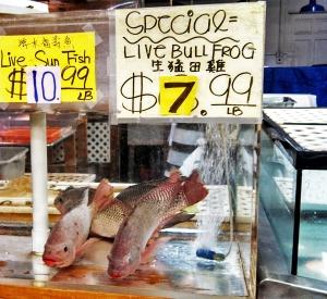no live bullfrogs