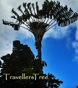 Travellers Tree