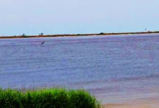 Diving pelicans-2