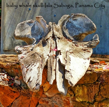 Saboga-baby whale skull