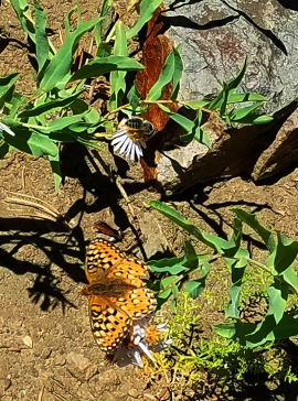 Aug 29 - bee & butterfly on hike from tram summit to gondola plateau